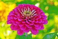 The Brilliance Of A Pink Zinnia