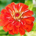 """Orange Zinnia Close-Up"" by feagans_photography"