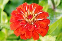 Orange Zinnia Close-Up