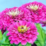 """Pink Zinnia Bouquet"" by feagans_photography"