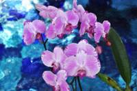 Pink Orchids II