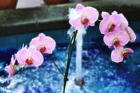 Pink Orchids III