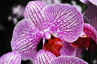 Striped Orchids I