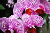 Striped Orchids II