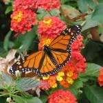 """""""monarchbutterfly"""" by artafire"""