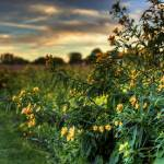 """Tall Coreopsis at Sugarcreek by Jim Crotty"" by jimcrotty"