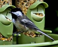 Black-capped Chickadee on the bird feeder