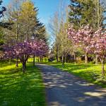 """The Prunus Path, Vancouver BC"" by PriscillaTurner"