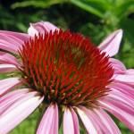 """""""Echinacea"""" by jodipflepsen"""