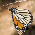 """DSC_4370 Monarch Butterfly closeup on a twig"" by eyalna"