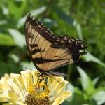 """""""Monarch Butterfly"""" by crazyabouthercats"""