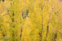 Cottonwood Autumn Colors