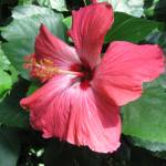 """""""Hibiscus"""" by kellanbaker"""