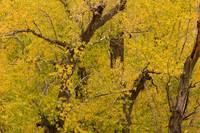 Cottonwood Fall Foliage Colors