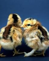 Too Cute Chicks