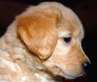 Golden Retriever Puppy in Profile