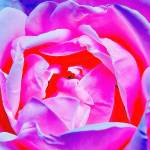 """Rose Petals"" by ROBERTSCOTTPHOTOGRAPHYY"