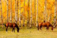 2 Horses in the Colorado Fall Foliage
