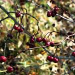"""""""Autumn Berries     0306"""" by BarbaraLin"""