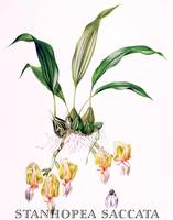 Stanhopea saccata Orchid Botanical Illustration