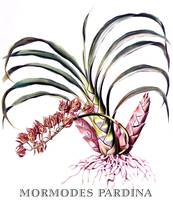 Mormodes pardina Orchid Botanical Illustration