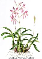 Laelia autumnalis Orchid Botanical Illustration