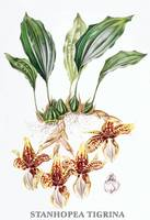 Stanhopea tigrina Orchid Botanical Illustration