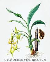 Cynoches ventricosum Orchid Botanical Illustration