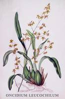 Oncidium leucochilum Orchid Botanical Illustration
