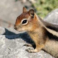 Chipmunk Yellowstone Park