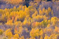 Colorado Autumn Trees