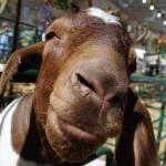 """20100815 Goat!"" by TomSpaulding"