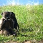 """""""Monkeys in Africa"""" by sdch"""