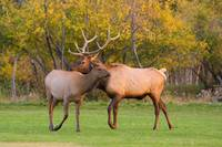 Cow and Bull Elk