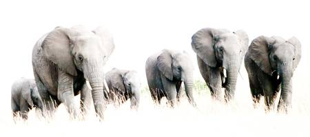 Elephants in the Mist