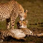 """Cheetah Kiss"" by thedannybadgerphotography"