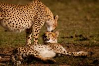 Cheetah Kiss