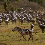 """Zebra in a Sea of Wildebeest"" by thedannybadgerphotography"