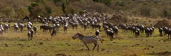 Zebra in a Sea of Wildebeest