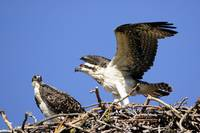 Osprey Nest with Fledglings