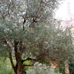 """Olive Tree Grove"" by nahone"