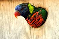 Lorikeet, a Rainbow of Color Looking Out