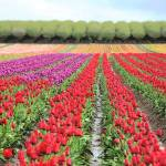 """Colorful Rows, Tulips in the field"" by LauraM"