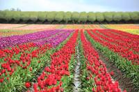 Colorful Rows, Tulips in the field