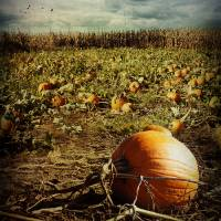 The Pumpkin Patch! Art Prints & Posters by Susan Weller