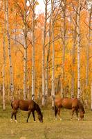 Two Autumn Horses