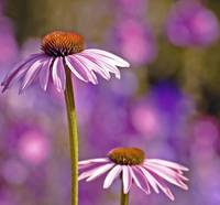 Purple Coneflowers 2.