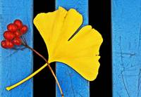Red, Ginkgo, And Blue.