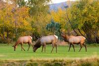 Bull Elk  bugling with Cow Elks - Rutting Season