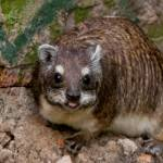 """A Cheeky Hyrax"" by thedannybadgerphotography"
